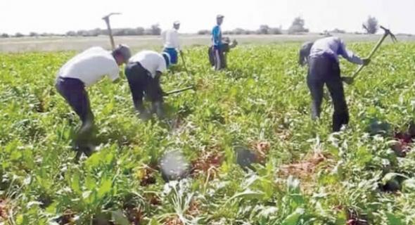 مزارعي الشمندر السكري بالفقيه بن صالح، يطالبون بترحيل مرشد فلاحي بوحدة كوسومار ويشتكونه للإدارة
