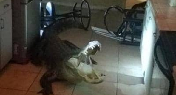 بالصور… تمساح ضخم يقتحم منزلا والشرطة تنقذ الموقف