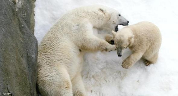 الدببة تحاصر 5 علماء روس بالقطب الشمالي