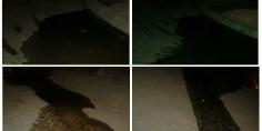 """حنا ماتالعبوش…. تاكسي نيوز تحرج عبقرية أحد المنتخبين بمجلس فم أودي الذي نفا صورا سابقة وننشر له صورا """"للخنز"""" ملتقطة ليلة الخميس الجمعة قراو تعرفو"""