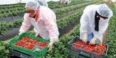 """""""كورونا"""" قد تحرم 16 ألف عاملة مغربية للذهاب إلى إسبانيا للعمل بحقول الفرولة!"""