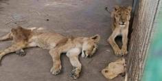 """السودان… محاولة لإنقاذ 4 أسود تعاني سوء التغذية و""""المجاعة""""!"""