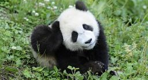 الباندا العملاقة لم تعد من الحيوانات المهدّدة بالإنقراض