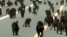 بعد الصراصير… مئات القرود تهاجم السعوديين =فيديو=