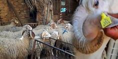 غايقطعو طريق على الغشاشة… بداية عملية ترقيم الأغنام والمعز لعيد الأضحى -بلاغ-