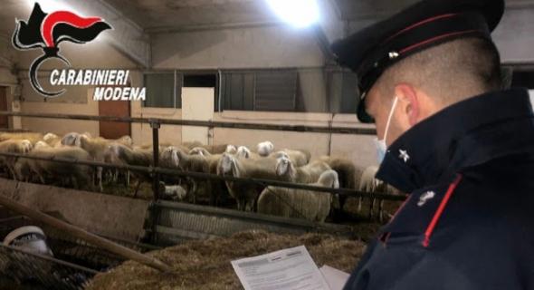 بالفيديو وحصلة خايبة… الشرطة الإيطالية تصور لحظة العثور على قطيع غنم مسروق وجدته داخل ضيعة يملكها مهاجرين مغربيين