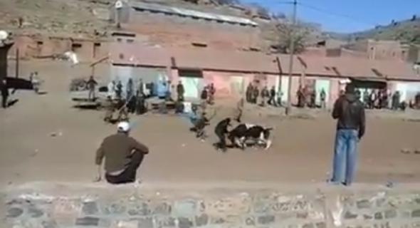 مووووت بالضحك… فيديو يشعل الفيسبوك لشبان يحاولون توقيف ثور هائج على الطريقة المغربية لمصارعة الثيران بجبال أزيلال