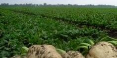توقع إنتاج مليون طن من الشمندر السكري بجهة بني ملال خنيفرة