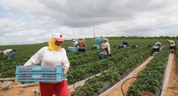 شروط وتوقيت التحاق 18 ألف من العاملات المغربيات بالحقول الاسبانية