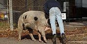 الخنزير البري يجتاح جماعات ازيلال ويهدد حياة السكان ويتلف مزروعاتهم والساكنة تستنجد