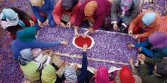 زراعة الزعفران منتوج اقتصادي جديد بأزيلال لتحسين مستوى دخل الفلاحين و أيت بوولي نموذج وتوقيع اتفاقية ب 26 مليون و250 ألف درهم هذه تفاصيلها