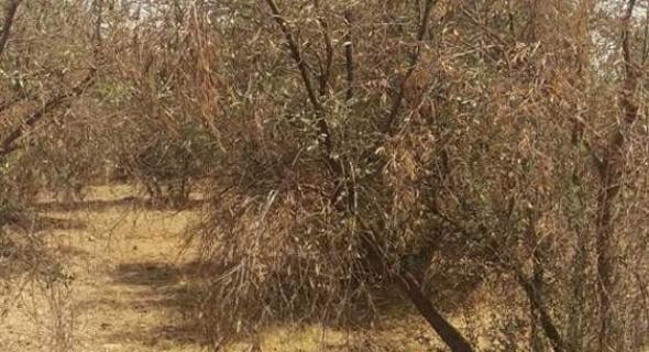خطير… كمية هائلة من أشجار الزيتون تحتضر بجماعة فم أودي والساكنة تستنجد لانقاذ هذه الثروة الفلاحية – الصور-