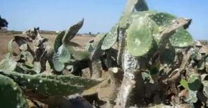 """الحشرة القرمزية تأتي على نبات الصبار """" كرموس النصارى"""" بإقليمي بني ملال وأزيلال وهذه طرق علاجها والوقاية منها"""
