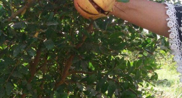 واتسطية هادي.. مجهولون يخربون حقل لفاكهة الرمان بطريقة غريبة